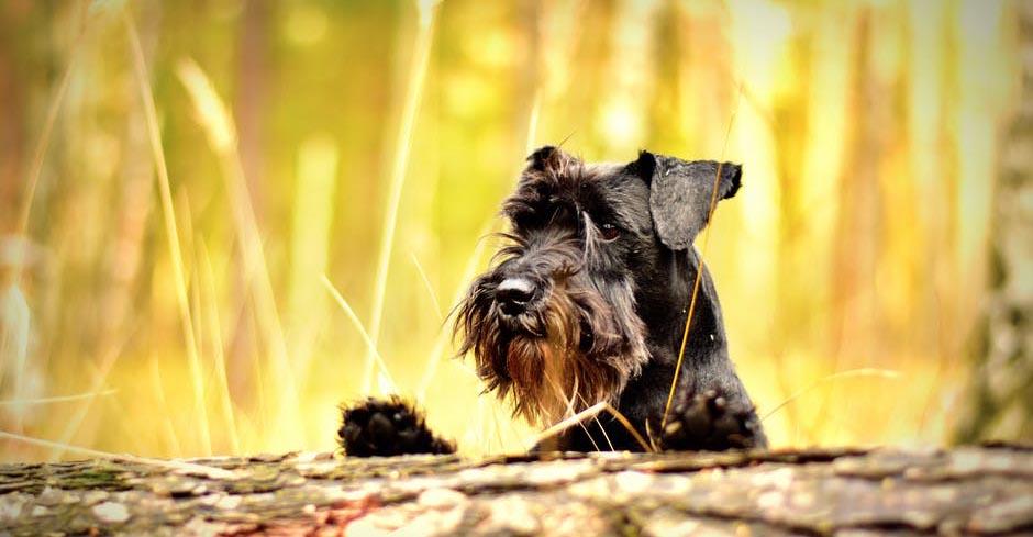 Transmission de maladie du chien à l'homme