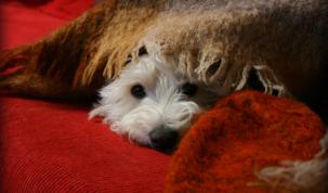 Garder son chien calme pendant un feu d'artifice